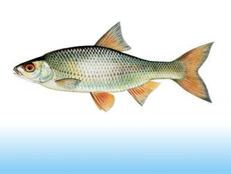 pescuit babusca